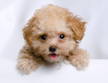 Teacup Toy Apricot Poodle Puppy Looking Over The Edge Of A White Wall. Mouth Open On An Isolated Background