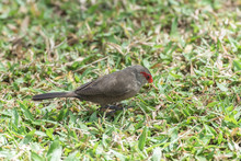 Red-browed Finch, Exotic Bird With Red Head Eating On The Grass