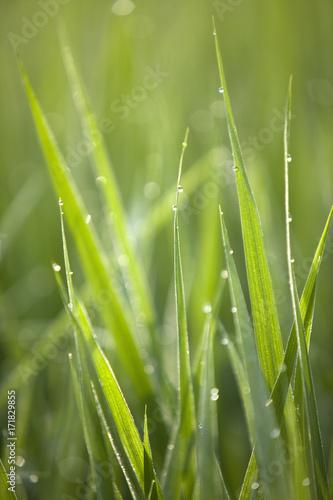 稲の露 #171829855