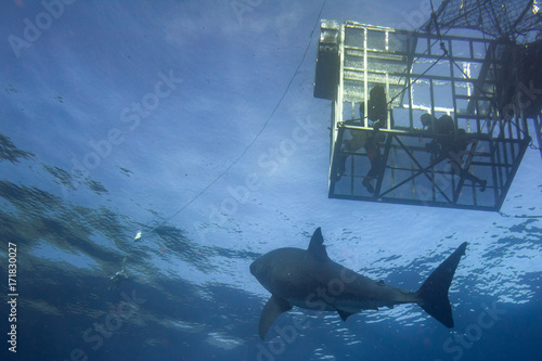 Fotografie, Obraz  Divers in a cage with Great White shark underwater