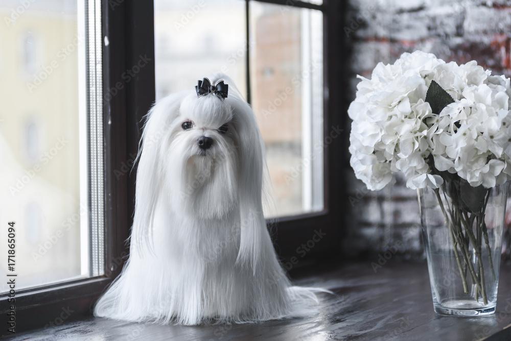 Fototapety, obrazy: white dog