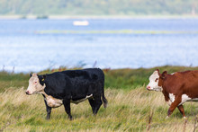 Two Cows Walking In The Grass ...