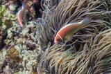 Fototapeta Fototapety do akwarium - Pink anemonefish - rybka nemo - morze filipińskie