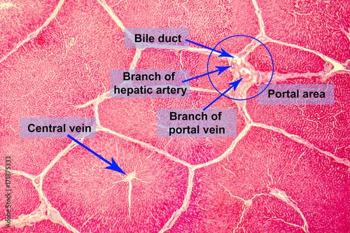 histologie ficat