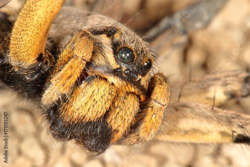 Plakat makro hiszpańskiej tarantuli, największy hiszpański pająk Lycosa hispanica.