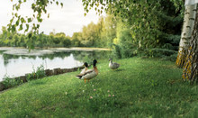 Ducks Family Resting On Green Grass Near Picturesque Lake