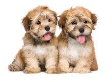 Two Cute Sitting Havanese Pupp...