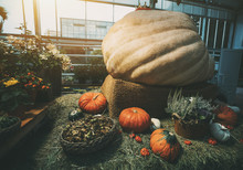 Still-life Of The Gifts Of Nature After Autumn Harvesting Laying On Dry Grass: Extremely Big Beige Pumpkin, Several Decorative And Orange Ripe Pumpkins, Red Eggplants, Flowers And Basket With Filbert