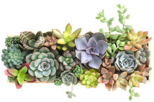 Top View Of Colorful Flowering Succulent Houseplants