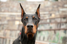 Beautiful Strong Black Dog Dob...