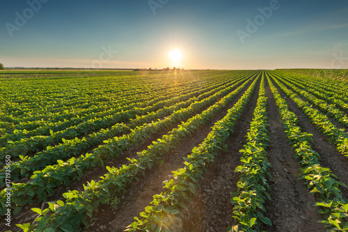 Billede på lærred Healthy soybean crops at beautiful sunset