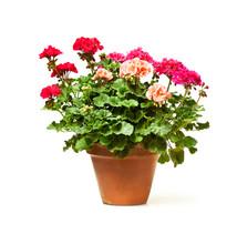 Colorful  Geranium Flower In C...