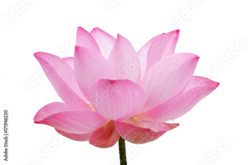 Garden Poster Lotus flower beautiful blooming lotus flower isolated on white background.