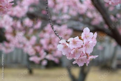 Foto op Plexiglas Magnolia さくら