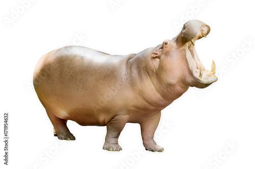 The hippopotamus is semi-aquatic (Hippopotamus amphibius) Isolated on white back Fototapeta