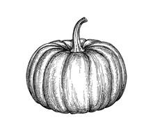 Ink Sketch Of Pumpkin.