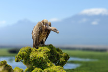 Vulture, Big Birds Of Prey Sit...