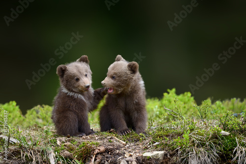 Fotografie, Obraz  Two young brown bear cub in the fores