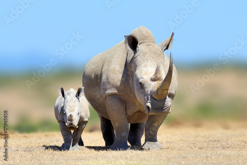 Tuinposter Neushoorn White rhinoceros in the nature habitat, Kenya, Africa