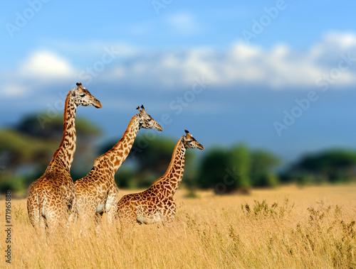 Fototapety, obrazy: Giraffe in the nature habitat, Kenya, Africa