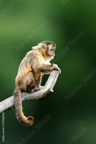 Photo Capuchin, monkey sitting on the tree branch in the dark tropic forest