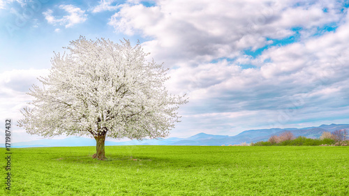 Flowering fruit tree cherry blossom. Single tree on the horizon with white flowers in the spring. Fresh green meadow with blue sky and white clouds.