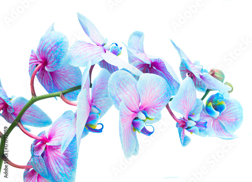 Fotomural stem of blue and violet fresh orchid flowers isolated on white background
