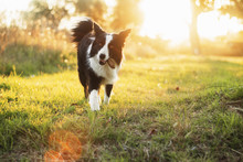 Border Collie Dog Walk In The ...