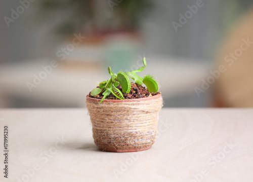 Pinturas sobre lienzo  Dionaea muscipula in pot on blurred background