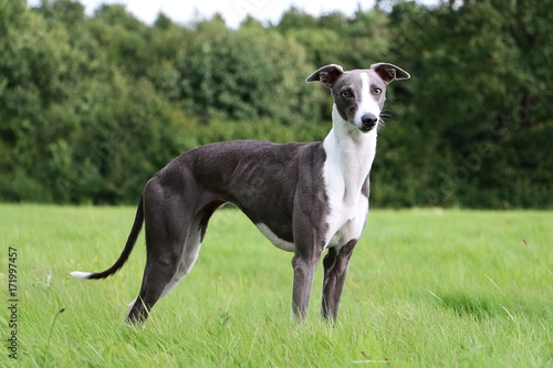Photo Whippet Portrait im Park