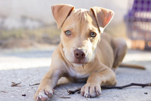 Pit Bull Puppy Playing Outdoors
