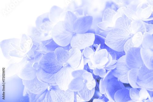 Montage in der Fensternische Hortensie sweet hydrangea flowers on a white background