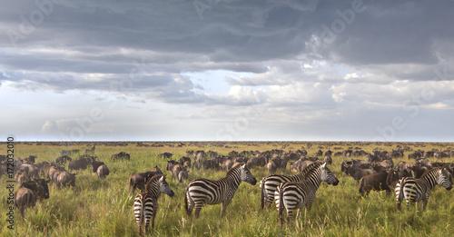 Foto op Plexiglas Afrika Zebras In The Wildebeest Herd