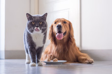 British Shorthair Cat And Gold...