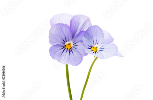 Papiers peints Pansies pansies isolated