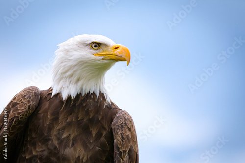 Deurstickers Eagle Bald Eagle