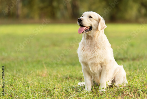Foto Beauty Golden retriever dog