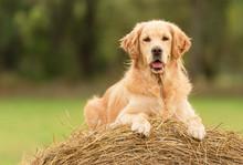 Beauty Golden Retriever Dog On...