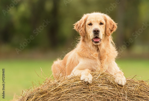 Fototapeta Beauty Golden Retriever dog on the hay bale