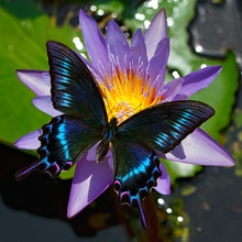 Black Swallowtail Or Papilio M...