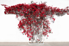 Red Flowers, Decorative Climbing Plant On A White Wall House Background