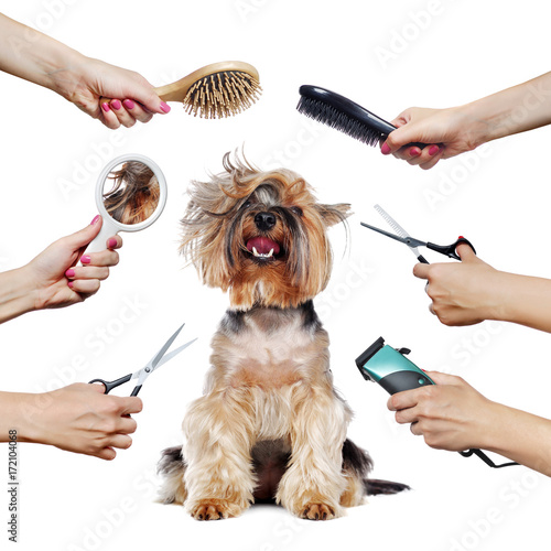 Cuadros en Lienzo Yorkshire Terrier puppy surrounded by hands holding groomer tools
