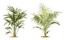 Plant - Chamaerops Excelsa (le...