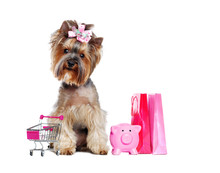 Shopping Yorkshire  Terrier Pu...
