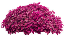 Beautiful Romantic Pink Bush Isolated On White Background