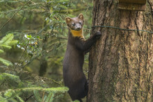 Pine Marten On The Side Of A T...