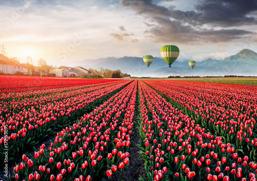 Beautiful field of red tulips in Holland. Balloons in the background. Fantastic spring event