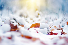 Yellow Leaves In Snow On Sun