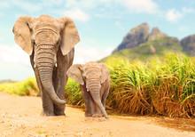 African Bush Elephants - Loxod...