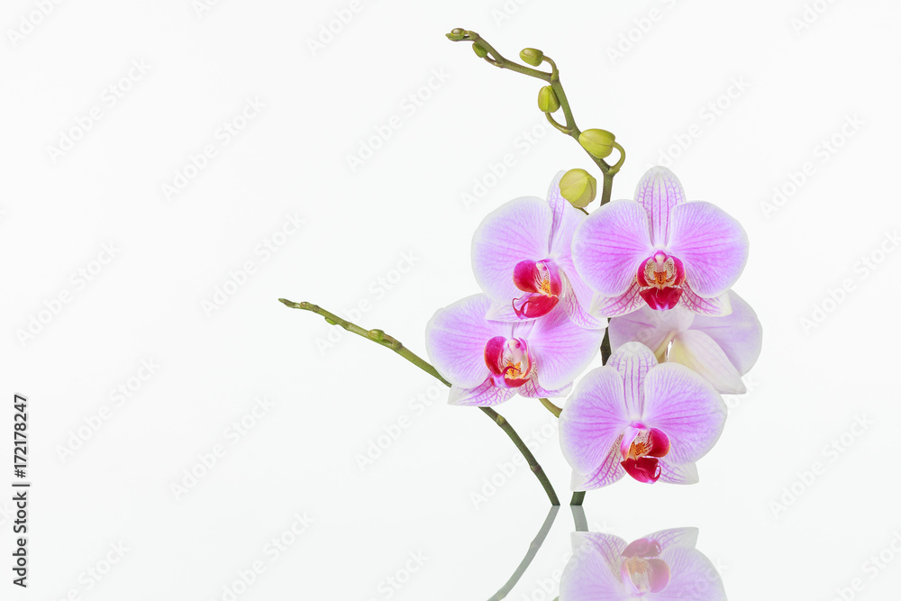 Inflorescence of butterfly orchid with reflection on white background